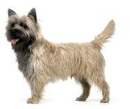 Criadores de la raza West Highland White Terrier, tambien llamados Westie o Westy en la ciudad de Puebla México. Contamos con los mejores cachorros a la venta.