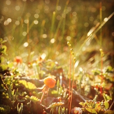 Cloudberry in the morning sun. Posio, Finland.