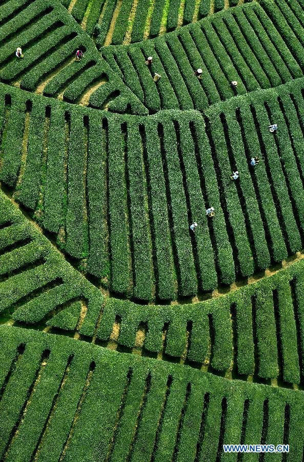 Tea fields in NW China village - China.org.cn