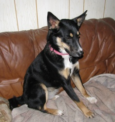Hershey - FOSTER NEEDED is an adoptable Australian Kelpie Dog in Seattle, WA. Hershey is a female Australian Kelpie and maybe Border Collie mix (herding breeds). She is about 40 lbs and is 1-2 year...