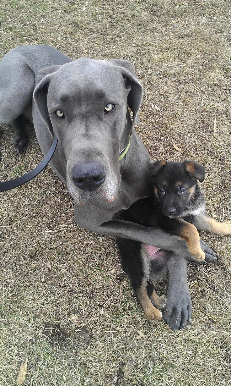 New puppy claimed by family dog as his own, awww.  Looks just like our Chace :)