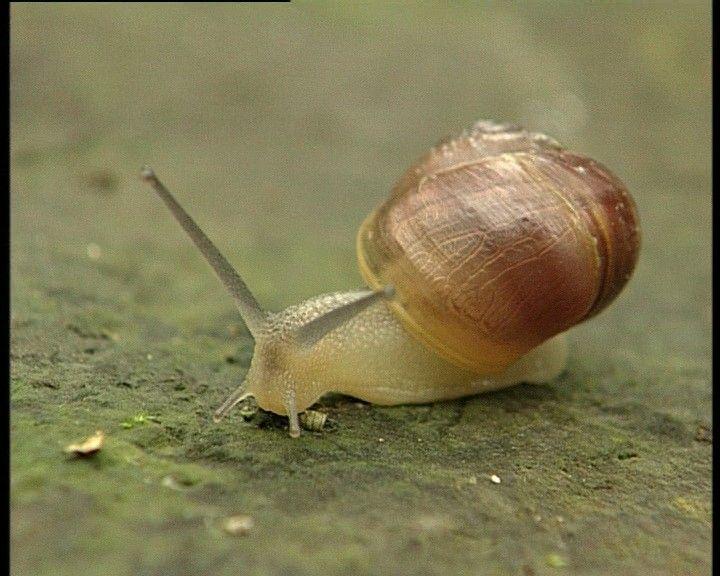 Slijmsporen en geritsel in de planten: er zijn slakken in de tuin.