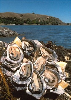Bluff Oysters yummy NZ, NEW ZEALAND oysters, Bluff at the southern end of the South Island. . Bliss...