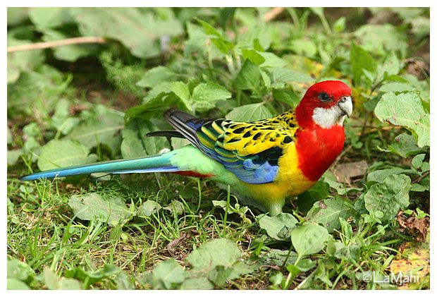 Gold Mantled RosellaBirds Watchin, God Creatures, Mantles Rosella, Gold Mantles, Feathers Friends