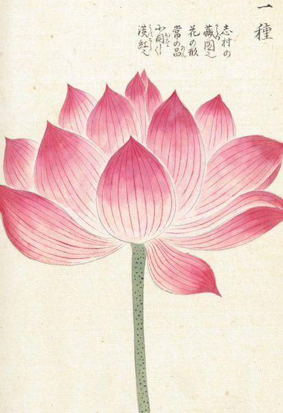 Honzo Zufu [Lotus] - Kan'en Iwasaki - Kew Gardens Botanical Prints