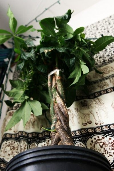 Pachira aquatica is a commonly found houseplant called a money tree. Money tree plant care is easy and based upon just a few specific conditions. Learn what those are in this article.