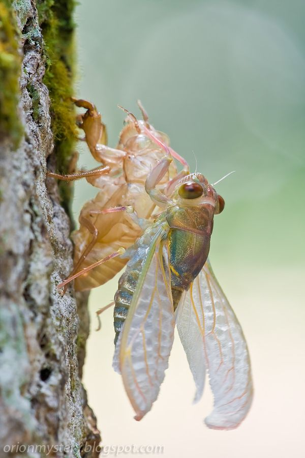 Cicadas live underground as nymphs for most of their lives, at depths ranging from about 1 ft to 8.5 ft down.  The nymphs feed on root juice and have strong front legs for digging.  In the final stage, they construct an exit tunnel to the surface and emerge. They then molt (shed their skins) on a nearby plant for the last time and emerge as adults. The abandoned exoskeleton remains, still clinging to the bark of trees.