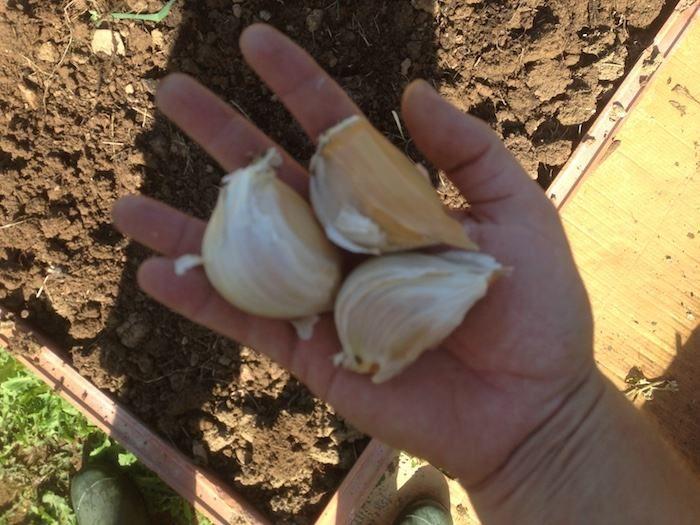 Como sembrar ajos en el huerto / EcoInventos.com