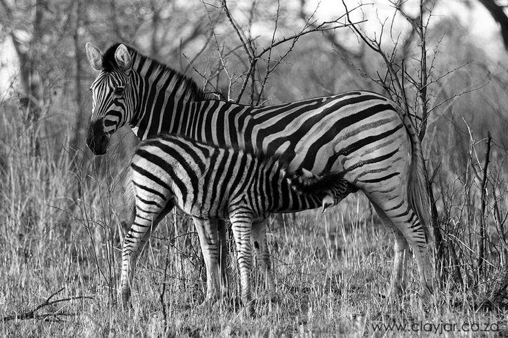 Zebra Mom & Baby - Cape Town Photographers   Clay Jar Photography