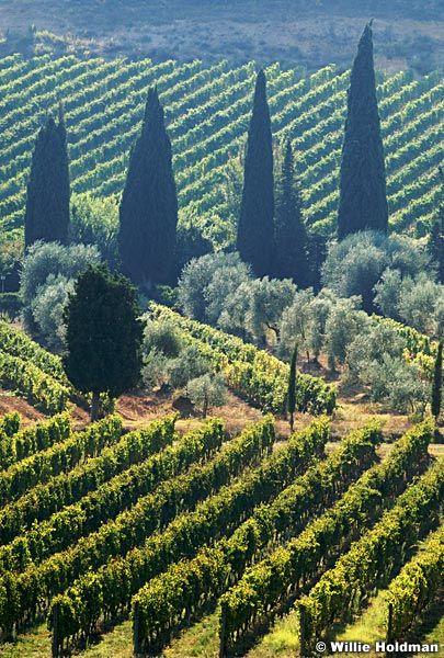 Vineyard in Tuscany countryside, Italy