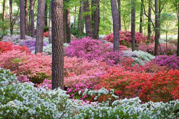 woodland azaleas  -  I am so doing this in our woodland garden at Breeden Inn!