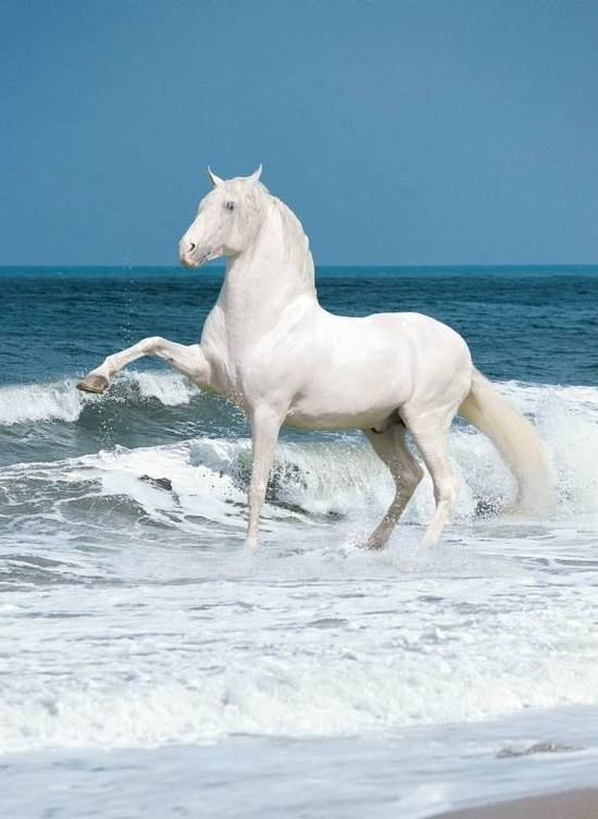 Beautiful white horse prancing in the waves at the beach.