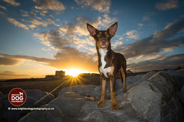 Brighton Dog Photography - shyla by brightondogphotography, via Flickr