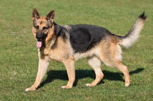 German Shepherd Information and Pictures - Petguide