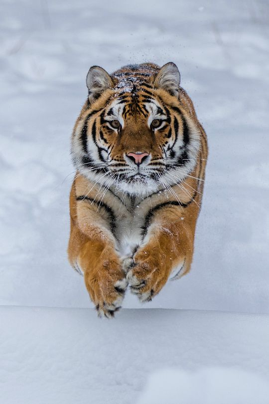tulipnight:   Tiger by NaturesFan1226 - Some people feel the rain. Others just get wet.