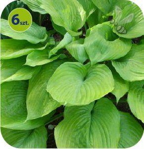 Ogrodbellingham Hosta Sum And Substance Hostas Vegetables