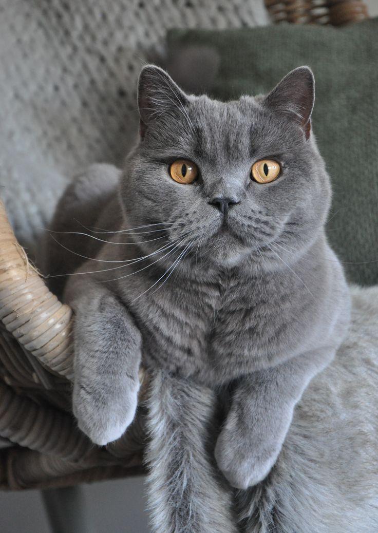 Кот британец фото прямоухий серый