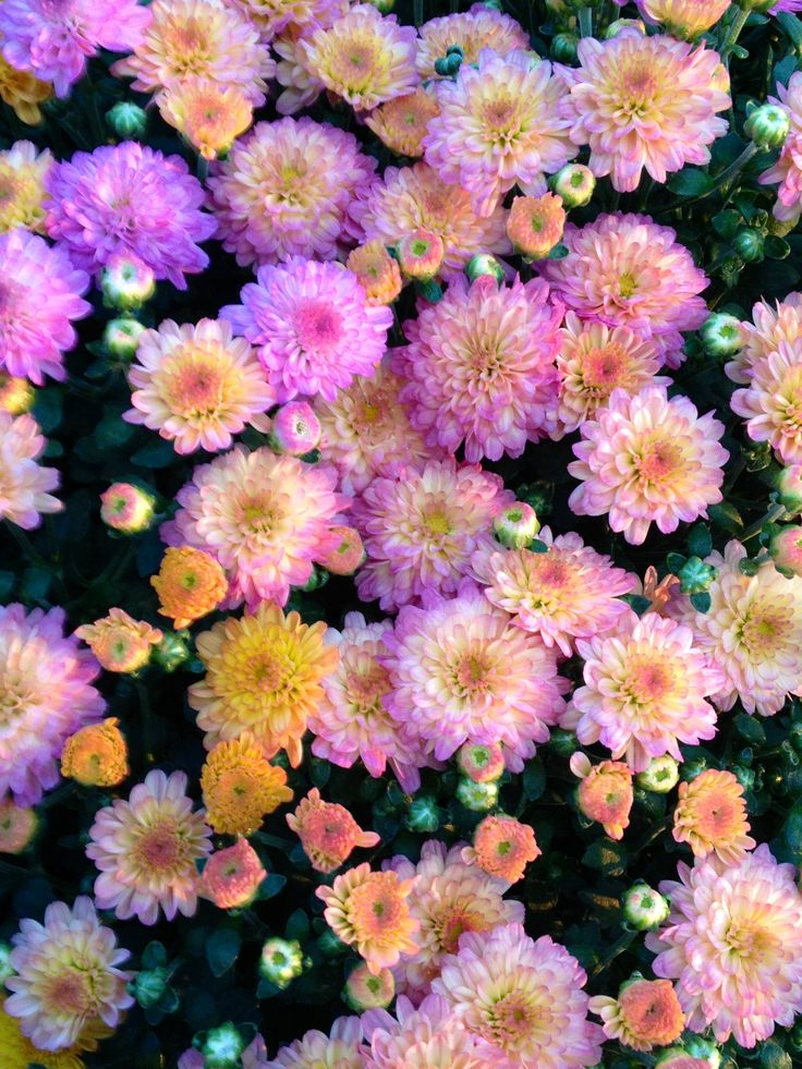 Rainbow mums. This is a new multi color variety.