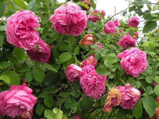 17 best images about rosas on pinterest tes bourbon and for Jardineria rosales