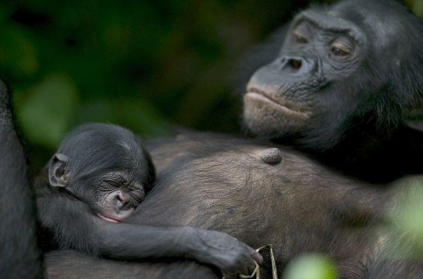 Une des études les plus récentes sur la question (datant de moins de 20 ans) à démontré que la séparation entre singe et homme s'est effectuée il y a 5 à 8 millions d'années. Jusqu'à ce point de rupture, nous partagions avec nos cousins des facultés similaires. Il a même été prouvé que les singes ont maîtrisé les outils bien avant l'homme. Parmi les différentes espèces de singes, le bonobo est celui avec lequel nous partageons la plus grande partie de notre patrimoine génétique, soit 99,4 %.