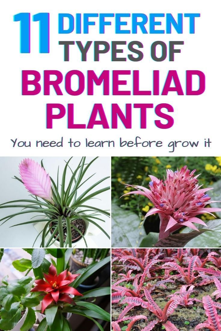 11 Different Types Of Bromeliad Plants Amaze Vege Garden Bromeliads Plants House Plant Care