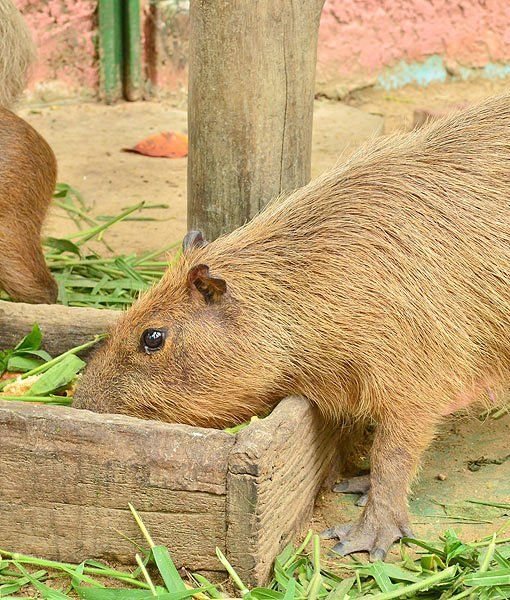 159 best images about Capybara on Pinterest | Gary in ...