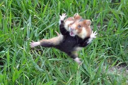 Image result for wild hamsters