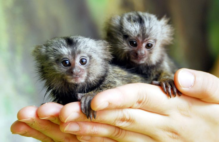 Since were posting cute animals that don't show themselves in aww a lot. Here is the pygmy marmoset. One of the worlds smallest primates.