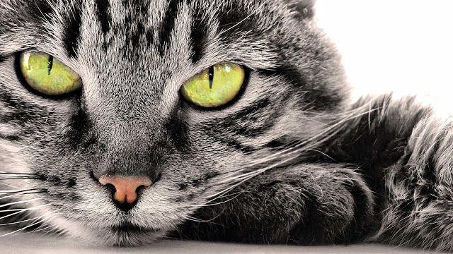 Portret foto van een grijze kat | Achtergrond Wallpapers