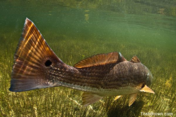 17 best images about redfish art on pinterest naples for Red fish pictures