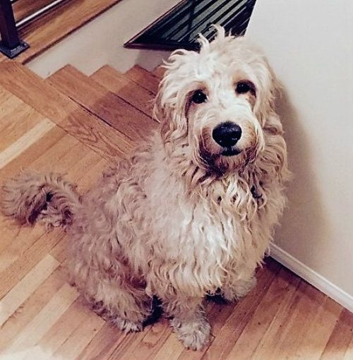 Arizona Goldendoodle fluffy dog