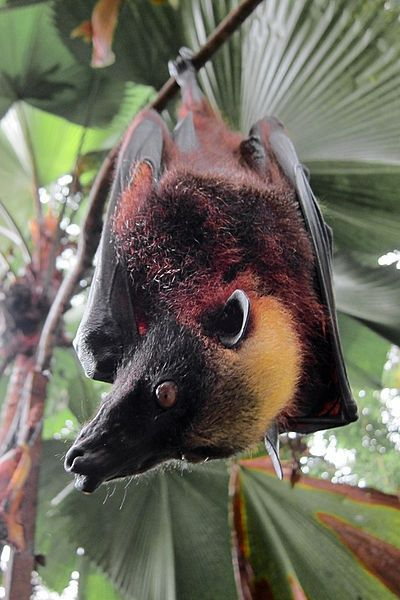 Giant Golden-Crowned Flying Fox bat is a rare megabat. It has a 5.6 foot wingspan and is harmless to humans.