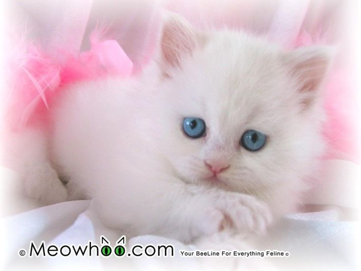 Baby kittens for Free | White Kitten With Blue Eyes Wallpaper | White Kitten With Blue Eyes ...