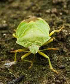 how to get rid of green vegetable bug