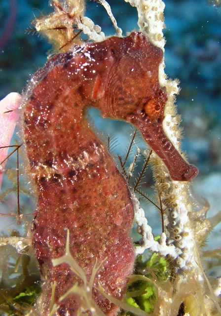 333 best images about seahorses jelly fish on pinterest for Is a seahorse a fish
