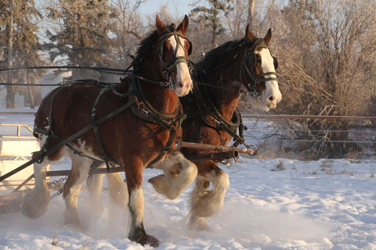 Clydesdale draft horses pulling a sleigh in the snow