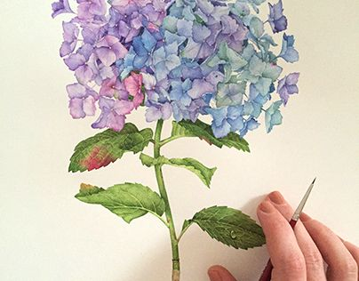 """Check out new work on my @Behance portfolio: """"Hydrangea Flower with watercolor """" http://be.net/gallery/32978867/Hydrangea-Flower-with-watercolor-"""