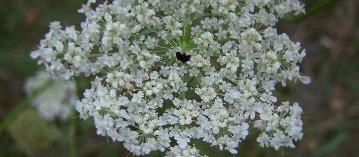 Queen Anne's Lace, Daucus carota. Scrappy little weed this one is, and such a charmer! Bees and butterflies love it, as do people for its airy beauty and medicinal seeds. The roots are edible too.