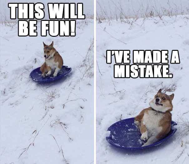 Corgi funny in the snow Z