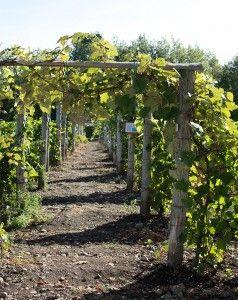vigne-marathonien