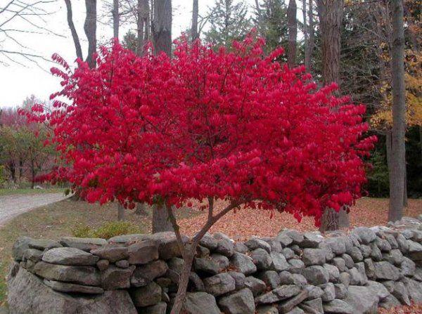 Image Gallery of Burning Bush Tree