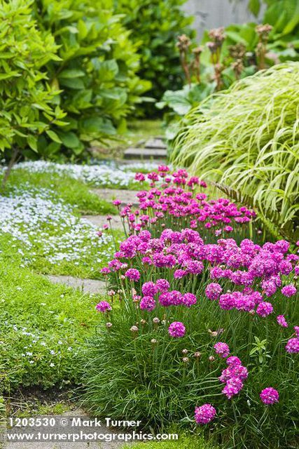 Sea Thrift, Blue Star Creeper groundcover among stepping stones between Sedge and Hydrangeas against retaining wall [Arm