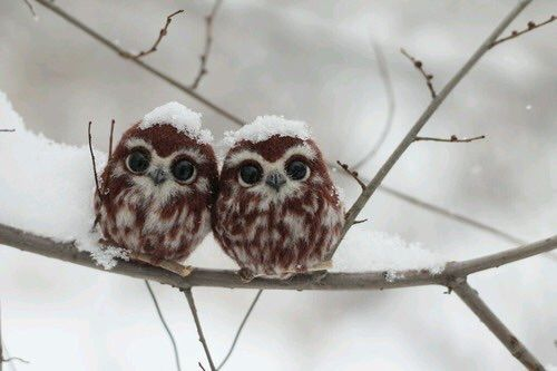 salithewitch:myfriendscallmekazzy:stunningpicture: Two happy owlets  AHHHHHHHHH  and they're covered in snow so they're moist owlettes