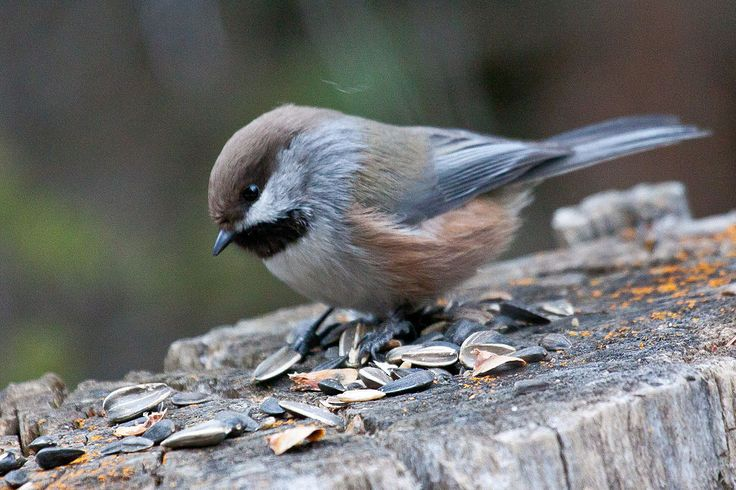 Boreal Chickadee(Poecile hudsonicus) is a small passerine bird in the tit family…