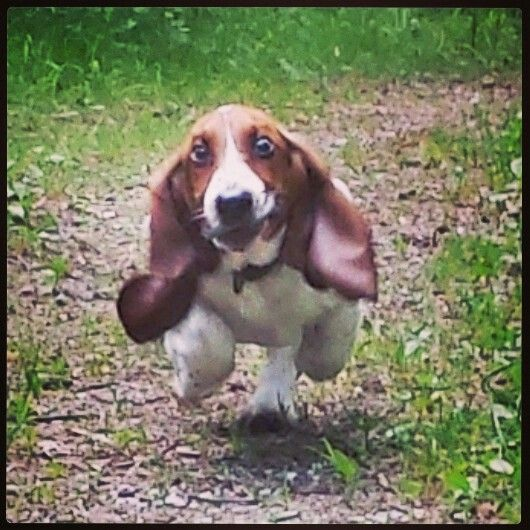 3213 Best Images About Bennett's Basset Hounds On