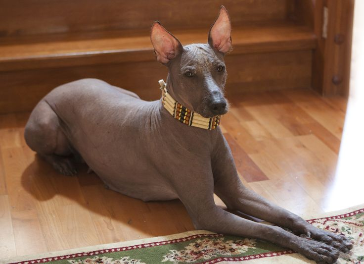 "Xoloitzcuintli - phonetically pronounced ""show-low-eats-queen'-tlee'"