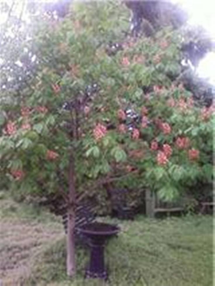 our horse chestnut in bloom