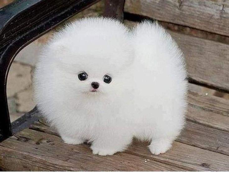 Pomeranian white full grown - photo#6
