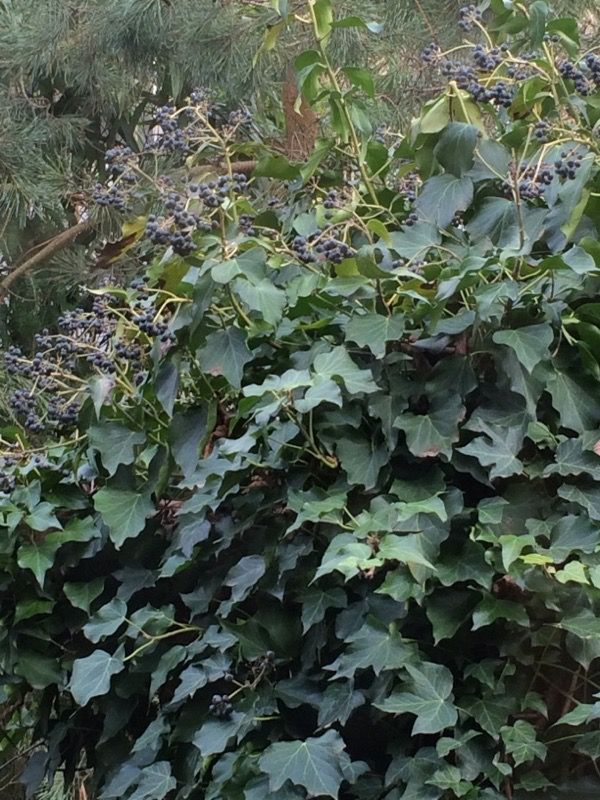 English Ivy (hedera helix): We strongly suspect that these are not grapes this time of year. It could very well be a robust mature English Ivy whose berries are loved and spread by birds, but toxic for us. Grapes should at this point be leafless and fruitless.
