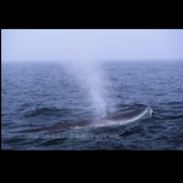 A whale blowing - such a sight to see!! I've gone whale watching in Newfoundland (3 times), New Brunswick and Quebec and hope to do so in the eastern coast of USA this year